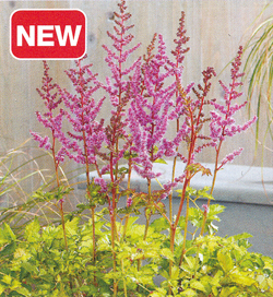 Astilbe Color Flash Lime
