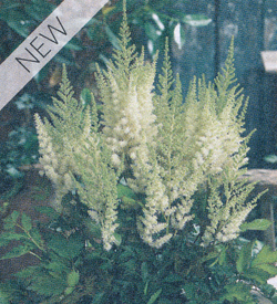 Astilbe Diamonds and Pearls