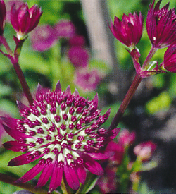 Astrantia Purple Joyce