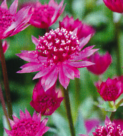 Astrantia Red Joyce