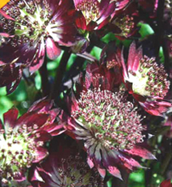 Astrantia Star of Summer