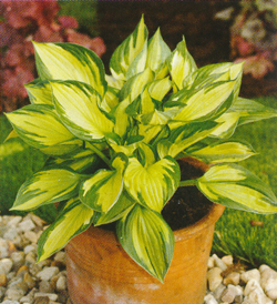 Hosta Colored Hulk