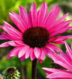 Echinacea Fatal Attraction