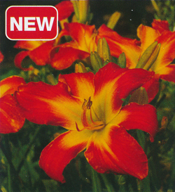 Hemerocallis Carrick Wildon