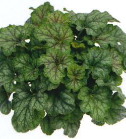 Heuchera Emeral Queen