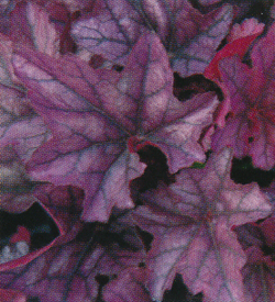 Heuchera Season King