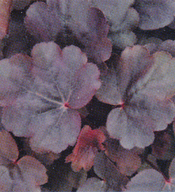 Heuchera Starry Night
