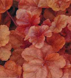 Heuchera Timeless Orange