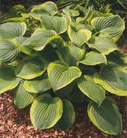 Hosta Abiqua Moonbeam