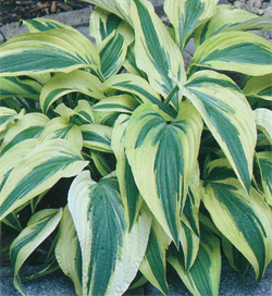 Hosta Lakeside Dragonfly