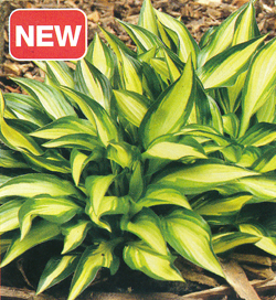 Hosta Lakeside Little Tuft