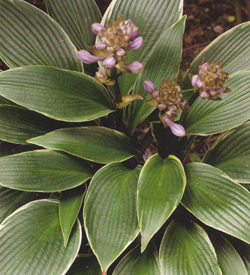 Hosta Silver Shadow