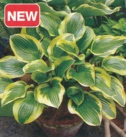 Hosta Sugar and Spice