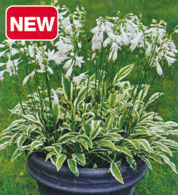 Hosta White Dove