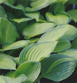 Hosta Midwest Magic