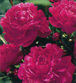 Paeonia Red