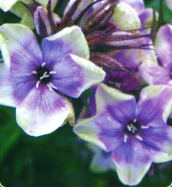 Phlox Mike´s Choice