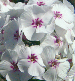 Phlox Mike´s Favourite