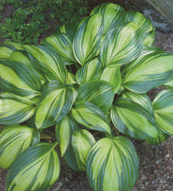 Hosta Rainbow´s End