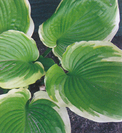 Hosta Winter Snow